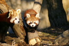Mother & sibling - red panda Stock Images
