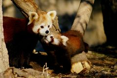 Mother & sibling - red panda Royalty Free Stock Photography