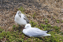 Mother silver gull and baby. Stock Image