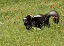Mother skunk carrying baby in her mouth Royalty Free Stock Images