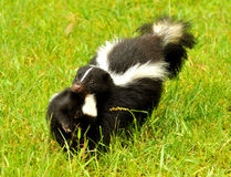 Mother skunk carrying her baby Stock Photos