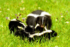 Mother skunk carrying her kits Royalty Free Stock Photo
