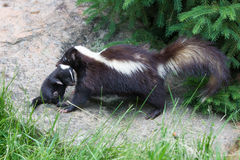 Mother skunk and newborn Stock Images
