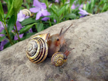 Mother snail with baby Stock Photo