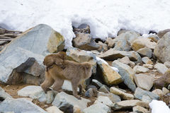 Mother Snow Monkey Traveling with Baby on Board. A small brown fuzzy baby snow monkey holds on tightly to its mother`s rump, as the later walks  over a pile of Stock Photography