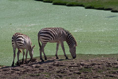 Mother and Son. A pair of young and adult zebra are eating grass on the ground Royalty Free Stock Photos