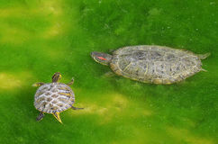Mother and son. Mother turtle and son in the marsh Royalty Free Stock Photography