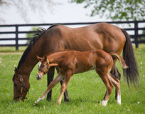 Mother and Son. Throughbred filly and newborn colt on a warm spring morning in Bluegrass, Kentucky Royalty Free Stock Images