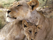 Mother and son. Lioness with her baby - taken in south africa stock photos