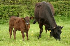 Mother and son. Grazing cow and her calf Royalty Free Stock Image