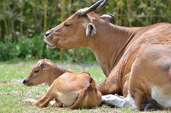 Mother and son banteng Stock Image