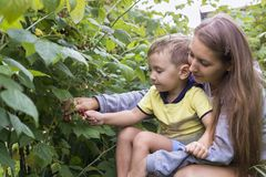 Mother and son collect raspberries Stock Images