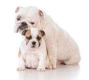 Mother and son dogs Royalty Free Stock Photography
