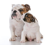 Mother and son dogs. On white background Stock Image