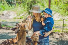 Mother and son feeding beautiful deer from hands in a tropical Zoo.  Stock Photos