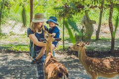 Mother and son feeding beautiful deer from hands in a tropical Zoo.  Stock Images