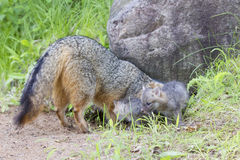 Mother and son grey fox by den Stock Photo