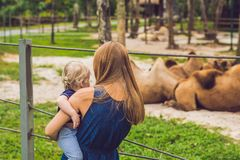 Mother and son looks at the camels at the zoo Stock Images