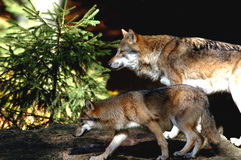 Mother and son on rock. European Wolf; NP Bavarian Forest Stock Image
