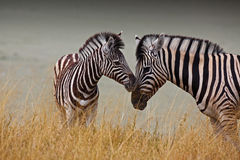 Mother and son in the savannah. Two sweet zebras, mother and son, in the savannah stock photography