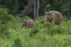 Mother and son. Two elephant , mother and son walking in the forest Royalty Free Stock Image