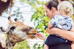 Mother and son watching and feeding giraffe in zoo. Happy kid having fun with animals safari park on warm summer day.  royalty free stock image