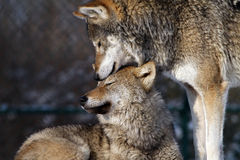 Mother and son wolf Stock Photos