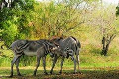 Mother & son zebras stock image