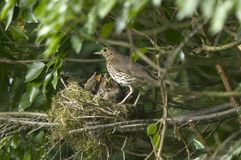 Mother Song Thrush. A Song thrush mother feeding her hungry chicks in the nest ( Philomelos Turdus Stock Photography