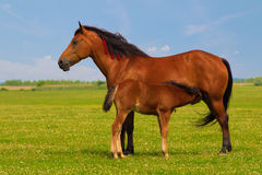 Mother sorrel horse nurse foal. Mother horse nurse foal on the floral meadow Royalty Free Stock Photography