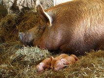 Mother Sow and Piglets. A Tamworth sow and her one day old piglets sleep in the sun in the barn stock photography