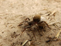 Mother spider on land. A mother spider on the land Stock Image
