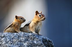 Mother squirrel. With baby sitting on granite rock royalty free stock photography