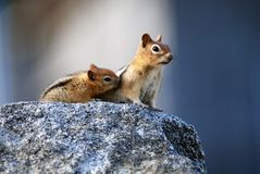 Mother squirrel and baby. Mother squirrel with baby sitting on granite rock stock photos