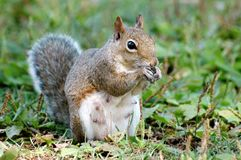 Mother Squirrel Eating Royalty Free Stock Photography