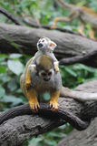 Mother Squirrel Monkey Carrying a Baby on Her Back stock photos