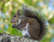 Mother Squirrel Pauses for a Bite to Eat Stock Images