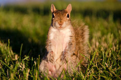 Mother squirrel poses on grass Stock Photo