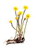 Mother-and-stepmother (Tussilago) with root on white background Royalty Free Stock Images