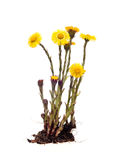 Mother-and-stepmother (Tussilago) with root on white background Royalty Free Stock Photography