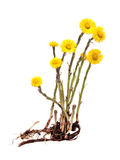 Mother-and-stepmother (Tussilago) with root on white background Stock Photography
