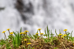Mother-and-stepmother yellow flowers waterfall spring Stock Image