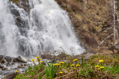 Mother-and-stepmother yellow flowers waterfall spring Royalty Free Stock Photo