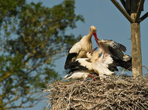 Mother Stork Feeding Her Chicken Stock Images