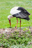Mother stork feeding its youngs Stock Image