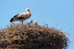 Mother stork watching over her pointy, Lerida. White stork and black tail feathers, small bun on the head, long bill and orange as well as its long legs. candle stock photos