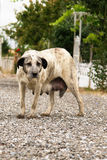 Mother stray dog Stock Photography
