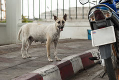 Mother stray dog in Bangkok, Thailand Royalty Free Stock Images