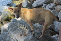 Mother stray dog at the beach. Mother stray dog eating scraps rice was discarded at sea Stock Photo