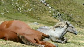Mare and foal in freedom resting in a meadow. The mother is stretched on the ground and wallows beside his son stock footage